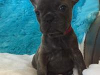1 blue boy available !! WE HAVE AN AMAZING LITTER FROM