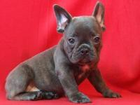 New litter of beautiful blue French Bulldog young