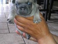 3 Beautiful AKC male french bulldog puppies, 2