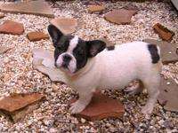 AKC Blue French Bulldog Puppy $ 2,000 Male - Blue