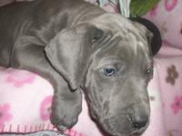 We have 3 gorgeous AKC registered Great Dane male