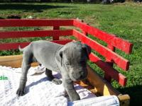 I have a litter of 8 AKC Blue Great Dane puppies for