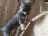 AKC Blue Male will be small. Champion bloodlines on