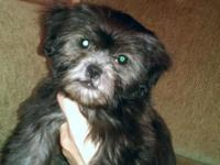 Bubba Blue is a Blue male Shih Tzu... He is a True Blue