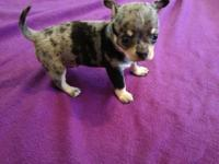 Larson. Larson is a AKC Blue Merle Chihuahua with