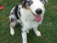 8 month old female blue merle standard aussie with full