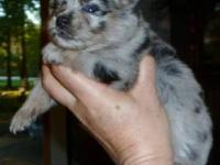 Prissy, AKC Blue Merle Female.. $1000.00 (limited reg.)