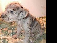 I Have 3 male blue merle AKC great danes, and one