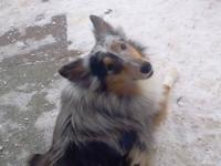 Nikki is a two year old AKC Sheltie. She is a gorgeous