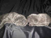 We have adorable AKC Neapolitan Mastiff puppies for