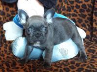 PERCY: $3285, Male, Blue Brindle, French Bulldog puppy