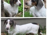 Sweetie is a 4 year old miniature dachshund.