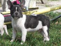 AKC MALE BLUE PIED FRENCH BULLDOG HIS D.O.B 9/7/2012