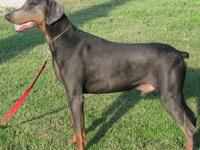 We are providing our proven 3 yr old AKC blue/rust male