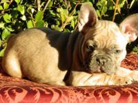 Blue Sable French Bulldog, grandson to Shrinkabulls