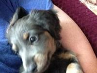 I have a beautiful blue/tan male mini dachshund for