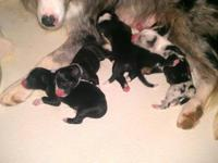 Beautiful Border collies puppies born 8-14-12. They