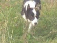 My Border Collie female is due to have puppies mid/end