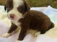 AKC Male Border Collie Puppies available to approved