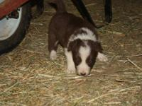 We are selling our 7 month old Border Collie Puppy,