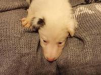 4 Beautiful blue eyed Male Merle Border Collie Pups.