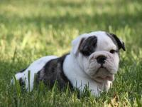 This is Boss, he is a beautiful English bulldog. He