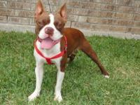 Born: 09/12/2011 Red/White Boston Terrier Male Dual