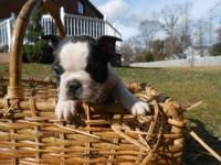 Beautiful Boston terrier puppies for sale. They come