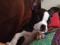 AKC white boston terrier splash with black tip