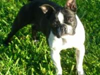 Lovely AKC Champion bloodline female offered. Sweet and