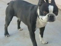 AKC boston terrier for sale very healthy great