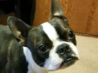 Rebel is a male AKC Boston terrier, he doesn't have his