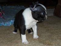 Only three beautiful AKC female puppies still available