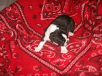 AKC boston terrier female puppy ,she is just