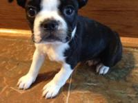 Two AKC male Boston Terrier puppies, 7 weeks old, ready