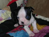 AKC Boston Terrier male puppies. Ira & Isaac are 5 wks.