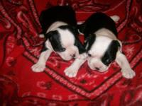 AKC boston terrier males,they are adoriable and very