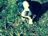 AKC Male Boston Terrier puppy. Has had every one of his