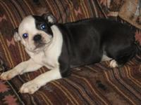 Have 2 beautiful AKC Boston Terrier boys. They are