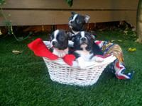 AKC Boston Terrier Puppies. Black Brindle & White. 3