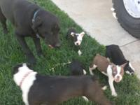 I have 3 male boston terrier young puppies overlooked