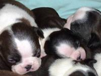 We have AKC Boston Terrier puppies available for