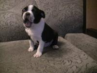 Hello , Im Selling 2 Boston Terrier They Are 8 Weeks