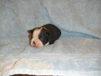 AKC Boston Terrier Puppies- 3 females, 3 males, puppies