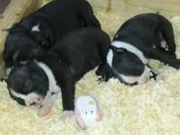 AKC registered Boston Terrier Puppies; Healthy, Playful