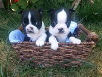 AKC signed up Boston Terrier Puppies; Healthy and