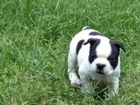 AKC Boston Terrier puppies available. Born April 8,