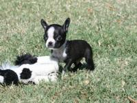 We have 2 good-looking AKC Boston Terrier puppies.