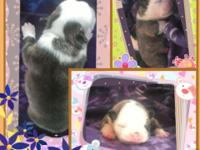 I have 2 gorgeous Boston terriers puppies 1 lovely