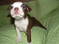 AKC Boston Terrier babies. They are raised inside my